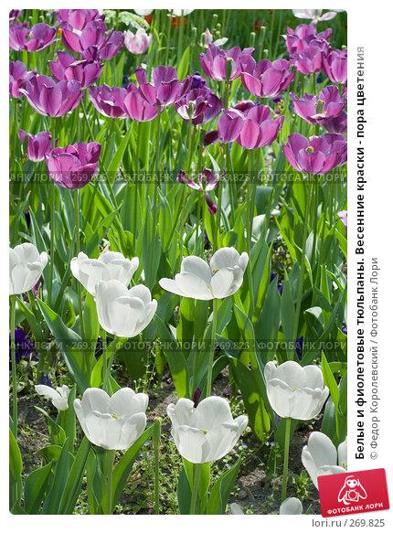Купить «Белые и фиолетовые тюльпаны. Весенние краски - пора цветения», фото № 269825, снято 1 мая 2008 г. (c) Федор Королевский / Фотобанк Лори