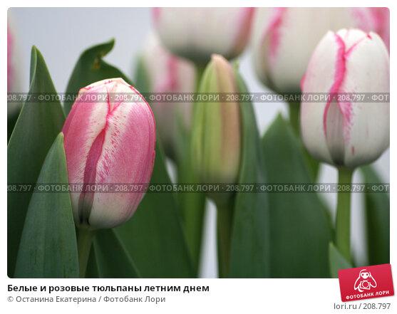 Белые и розовые тюльпаны летним днем, фото № 208797, снято 14 февраля 2008 г. (c) Останина Екатерина / Фотобанк Лори