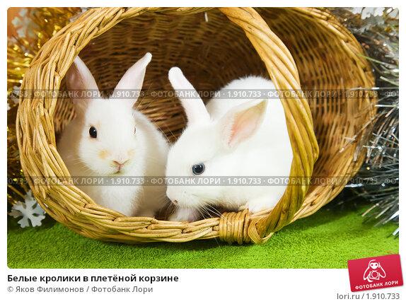 Белые кролики в плетёной корзине. Стоковое фото, фотограф Яков Филимонов / Фотобанк Лори