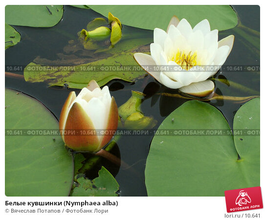 Белые кувшинки (Nymphaea alba), фото № 10641, снято 28 июля 2004 г. (c) Вячеслав Потапов / Фотобанк Лори