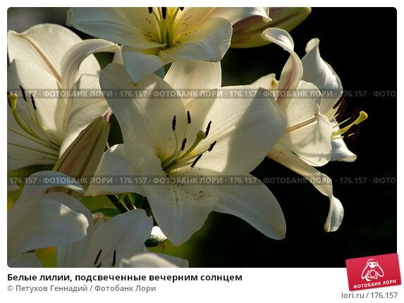 Белые лилии, подсвеченные вечерним солнцем, фото № 176157, снято 24 июля 2007 г. (c) Петухов Геннадий / Фотобанк Лори