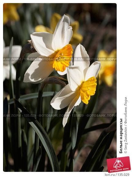 Белые нарциссы, фото № 135029, снято 31 мая 2006 г. (c) Serg Zastavkin / Фотобанк Лори