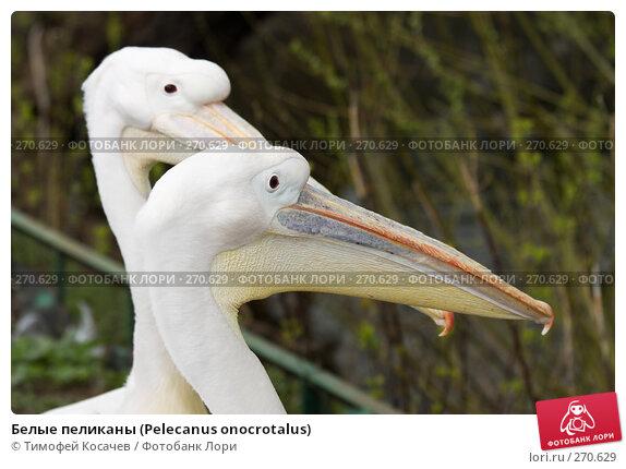 Белые пеликаны (Pelecanus onocrotalus), фото № 270629, снято 12 апреля 2008 г. (c) Тимофей Косачев / Фотобанк Лори