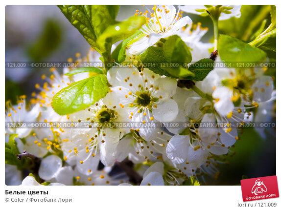 Белые цветы, фото № 121009, снято 9 мая 2007 г. (c) Coler / Фотобанк Лори