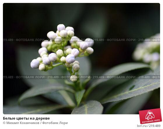 Белые цветы на дереве, фото № 219489, снято 1 марта 2008 г. (c) Михаил Коханчиков / Фотобанк Лори