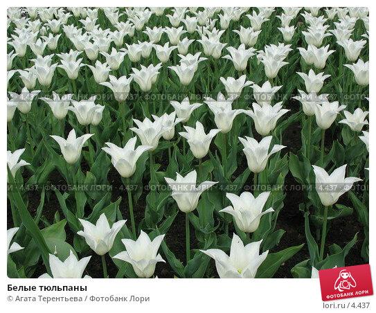 Белые тюльпаны, фото № 4437, снято 21 мая 2006 г. (c) Агата Терентьева / Фотобанк Лори