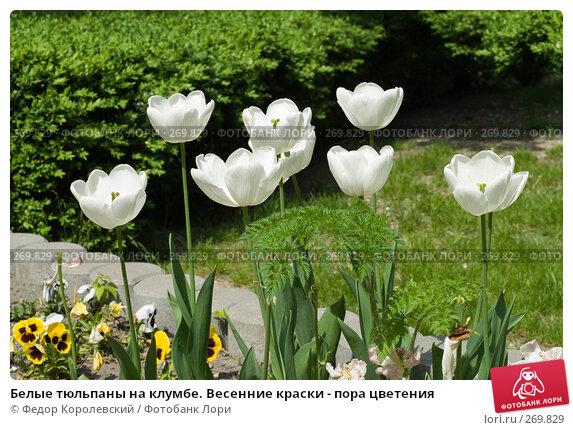 Белые тюльпаны на клумбе. Весенние краски - пора цветения, фото № 269829, снято 1 мая 2008 г. (c) Федор Королевский / Фотобанк Лори