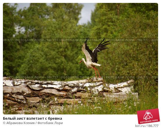 Белый аист взлетает с бревна, фото № 186777, снято 6 июля 2007 г. (c) Абрамова Ксения / Фотобанк Лори