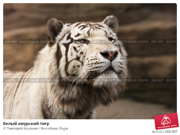 Белый амурский тигр, фото № 268997, снято 12 апреля 2008 г. (c) Тимофей Косачев / Фотобанк Лори