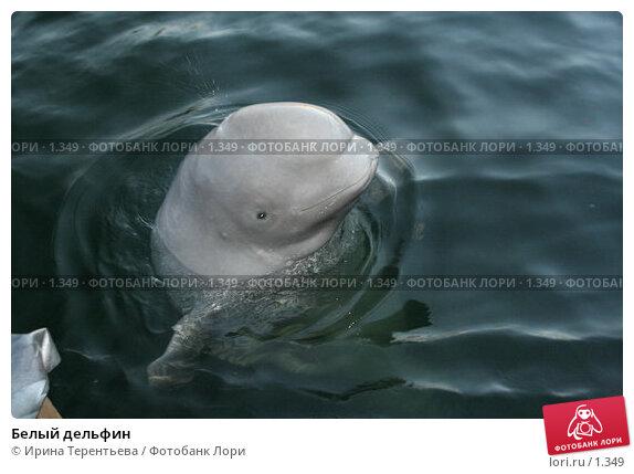 Белый дельфин, эксклюзивное фото № 1349, снято 15 сентября 2005 г. (c) Ирина Терентьева / Фотобанк Лори