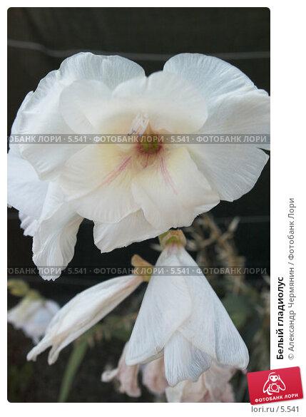 Белый гладиолус, фото № 5541, снято 17 июля 2006 г. (c) Александр Чермянин / Фотобанк Лори