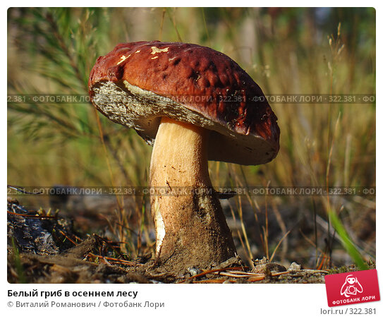 Белый гриб в осеннем лесу, фото № 322381, снято 23 сентября 2006 г. (c) Виталий Романович / Фотобанк Лори