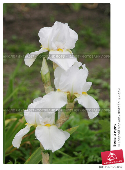 Купить «Белый ирис», фото № 129037, снято 1 июля 2005 г. (c) Георгий Марков / Фотобанк Лори