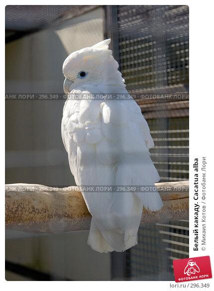 Белый какаду. Cacatua alba, фото № 296349, снято 13 мая 2008 г. (c) Михаил Котов / Фотобанк Лори