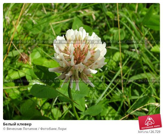 Белый клевер, фото № 26729, снято 19 июля 2004 г. (c) Вячеслав Потапов / Фотобанк Лори