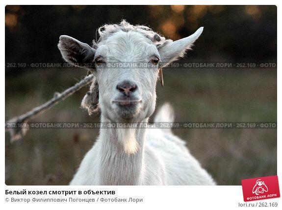 Белый козел смотрит в объектив, фото № 262169, снято 21 октября 2005 г. (c) Виктор Филиппович Погонцев / Фотобанк Лори
