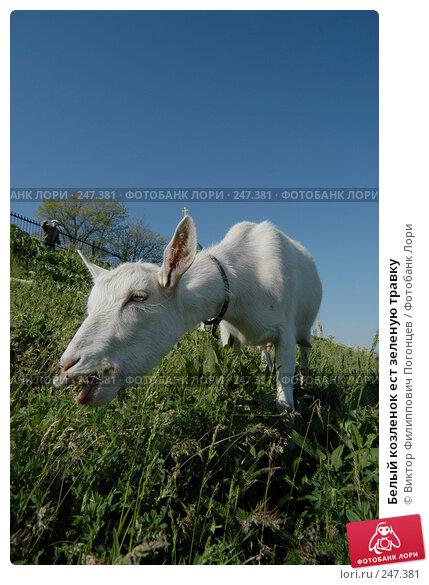 Белый козленок ест зеленую травку, фото № 247381, снято 8 мая 2004 г. (c) Виктор Филиппович Погонцев / Фотобанк Лори