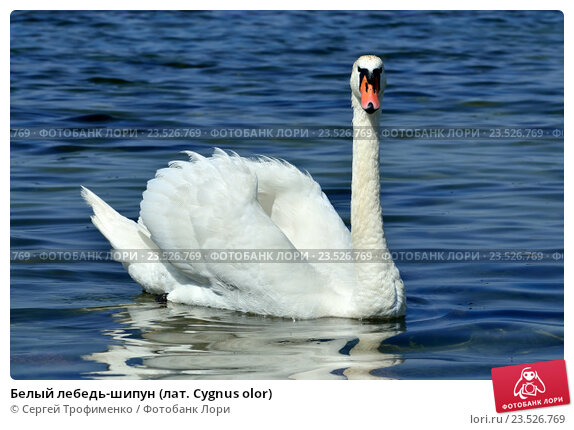 Купить «Белый лебедь-шипун (лат. Cygnus olor)», фото № 23526769, снято 1 июля 2016 г. (c) Сергей Трофименко / Фотобанк Лори