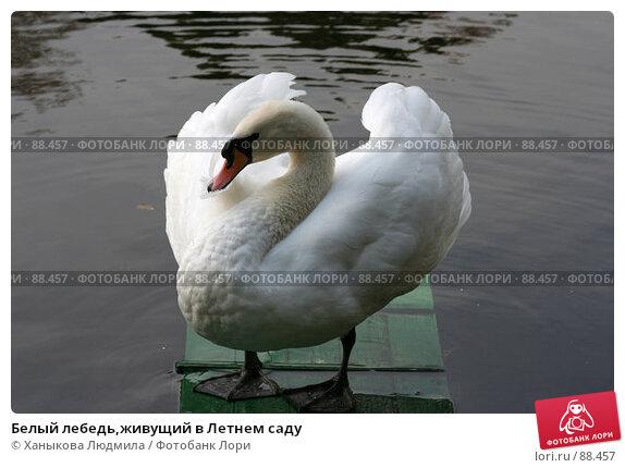 Белый лебедь,живущий в Летнем саду, фото № 88457, снято 26 сентября 2007 г. (c) Ханыкова Людмила / Фотобанк Лори