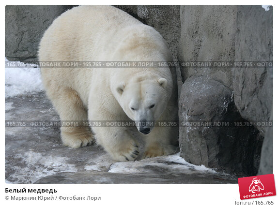 Белый медведь, фото № 165765, снято 15 декабря 2007 г. (c) Марюнин Юрий / Фотобанк Лори