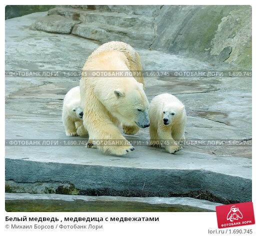 медвежатами фото белый медведь с