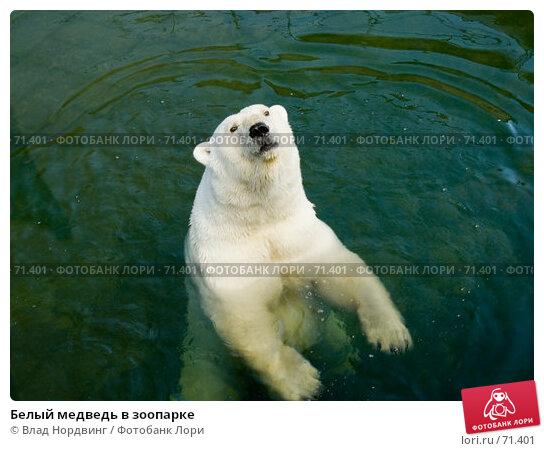 Белый медведь в зоопарке, фото № 71401, снято 28 июля 2017 г. (c) Влад Нордвинг / Фотобанк Лори