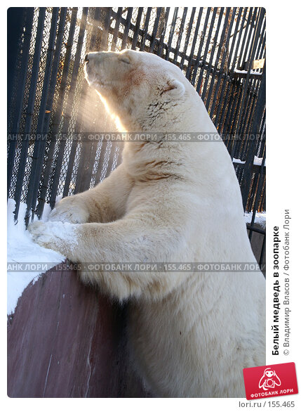 Белый медведь в зоопарке, фото № 155465, снято 20 января 2005 г. (c) Владимир Власов / Фотобанк Лори