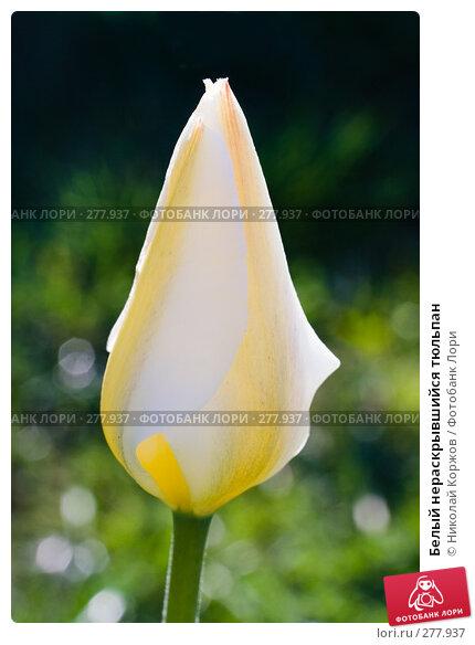 Белый нераскрывшийся тюльпан, фото № 277937, снято 4 апреля 2008 г. (c) Николай Коржов / Фотобанк Лори
