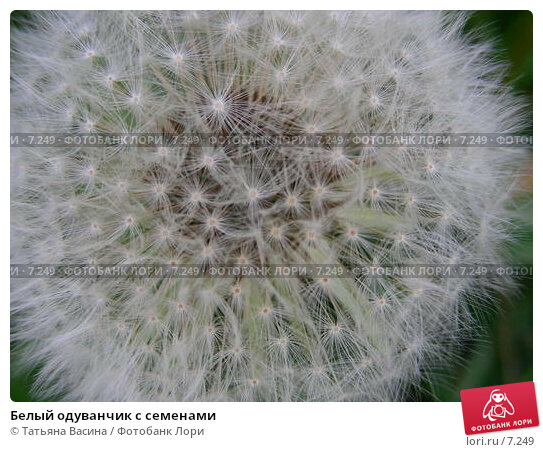 Белый одуванчик с семенами, фото № 7249, снято 7 июня 2006 г. (c) Татьяна Васина / Фотобанк Лори