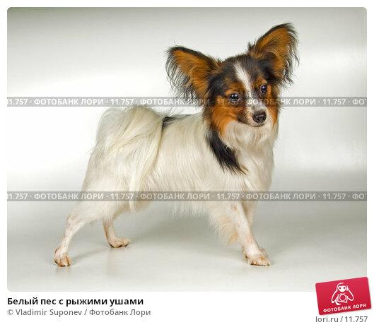 Белый пес с рыжими ушами, фото № 11757, снято 7 октября 2006 г. (c) Vladimir Suponev / Фотобанк Лори