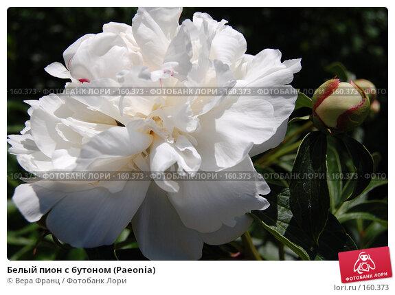 Белый пион с бутоном (Paeonia), фото № 160373, снято 26 мая 2007 г. (c) Вера Франц / Фотобанк Лори