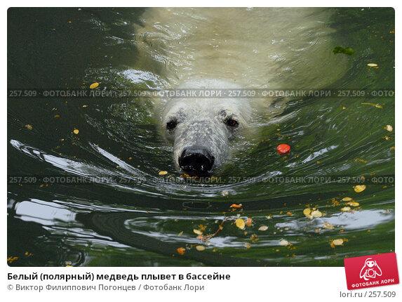 Белый (полярный) медведь плывет в бассейне, фото № 257509, снято 20 июня 2007 г. (c) Виктор Филиппович Погонцев / Фотобанк Лори