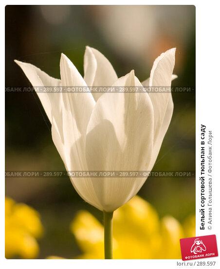Белый сортовой тюльпан в саду, эксклюзивное фото № 289597, снято 18 мая 2008 г. (c) Алина Голышева / Фотобанк Лори