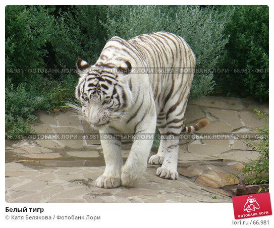 Купить «Белый тигр», фото № 66981, снято 28 июля 2007 г. (c) Катя Белякова / Фотобанк Лори