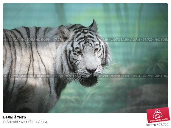 Белый тигр, фото № 97729, снято 16 марта 2007 г. (c) Astroid / Фотобанк Лори