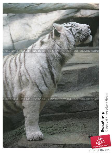 Белый тигр, фото № 107201, снято 16 марта 2007 г. (c) Astroid / Фотобанк Лори