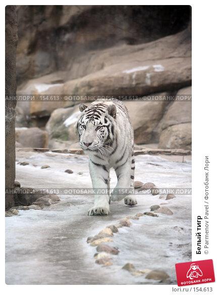 Белый тигр, фото № 154613, снято 11 декабря 2007 г. (c) Parmenov Pavel / Фотобанк Лори