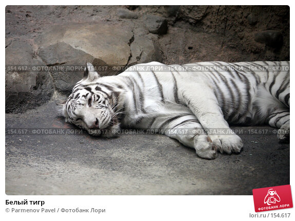 Белый тигр, фото № 154617, снято 11 декабря 2007 г. (c) Parmenov Pavel / Фотобанк Лори