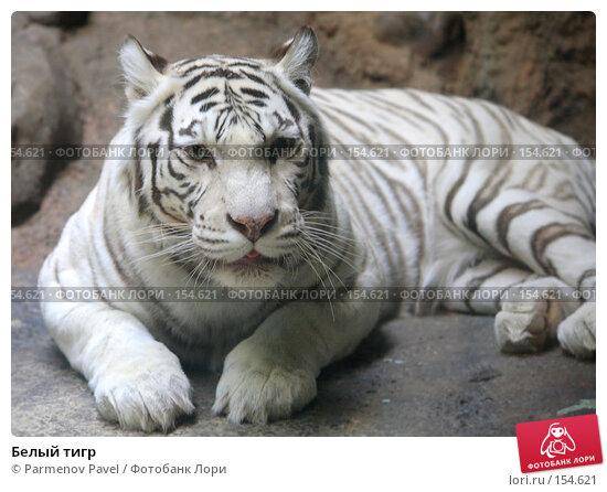 Купить «Белый тигр», фото № 154621, снято 11 декабря 2007 г. (c) Parmenov Pavel / Фотобанк Лори