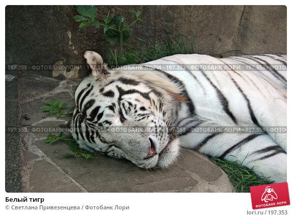 Купить «Белый тигр», фото № 197353, снято 24 апреля 2018 г. (c) Светлана Привезенцева / Фотобанк Лори
