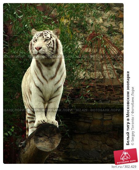 Белый тигр в Московском зоопарке, фото № 302429, снято 6 октября 2007 г. (c) Sergey Toronto / Фотобанк Лори
