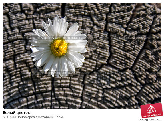 Белый цветок, фото № 295749, снято 19 августа 2007 г. (c) Юрий Пономарёв / Фотобанк Лори