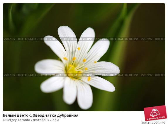 Белый цветок. Звездчатка дубравная, фото № 270197, снято 2 мая 2008 г. (c) Sergey Toronto / Фотобанк Лори