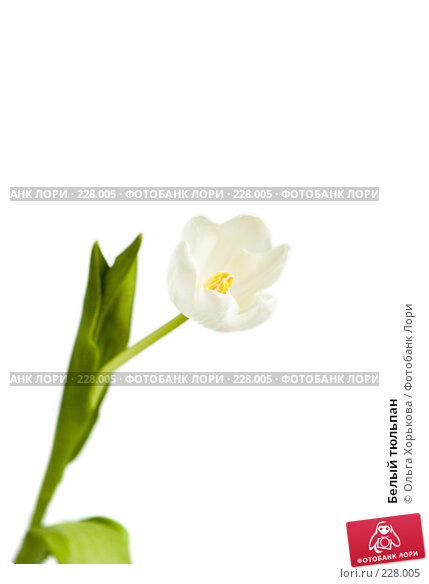 Белый тюльпан, фото № 228005, снято 8 марта 2008 г. (c) Ольга Хорькова / Фотобанк Лори