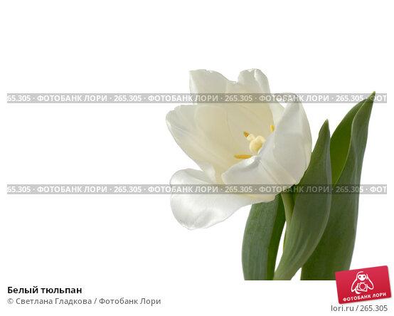 Белый тюльпан, фото № 265305, снято 13 января 2008 г. (c) Cветлана Гладкова / Фотобанк Лори