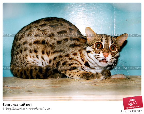 Бенгальский кот, фото № 134317, снято 30 апреля 2017 г. (c) Serg Zastavkin / Фотобанк Лори