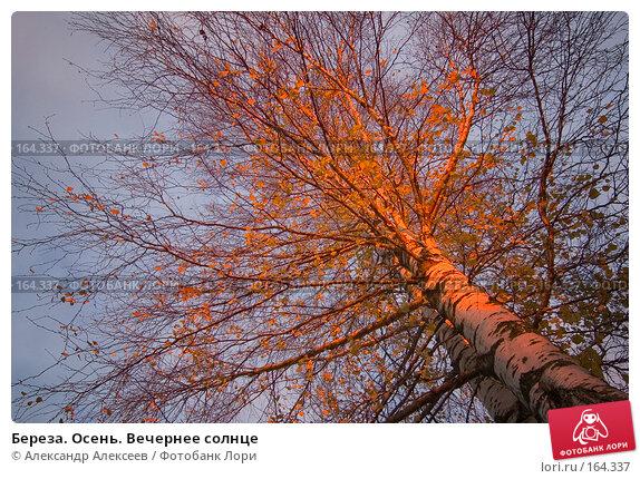 Береза. Осень. Вечернее солнце, эксклюзивное фото № 164337, снято 20 октября 2007 г. (c) Александр Алексеев / Фотобанк Лори
