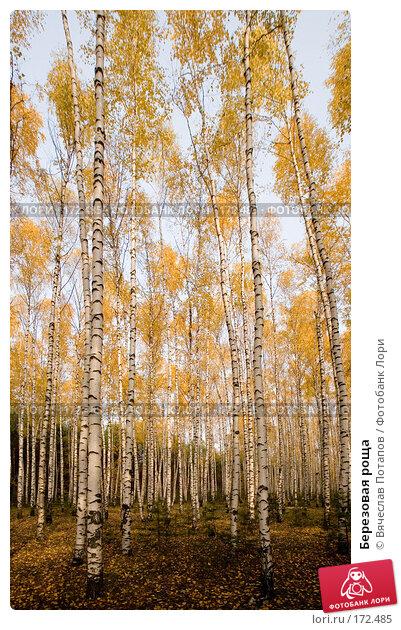 Купить «Березовая роща», фото № 172485, снято 19 октября 2007 г. (c) Вячеслав Потапов / Фотобанк Лори