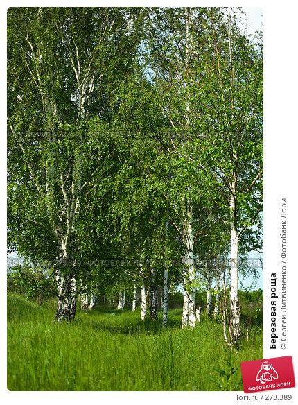 Березовая роща, фото № 273389, снято 5 мая 2008 г. (c) Сергей Литвиненко / Фотобанк Лори