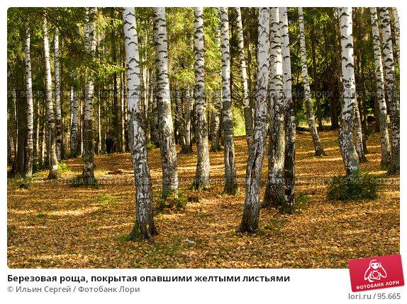 Березовая роща, покрытая опавшими желтыми листьями, фото № 95665, снято 6 октября 2007 г. (c) Ильин Сергей / Фотобанк Лори
